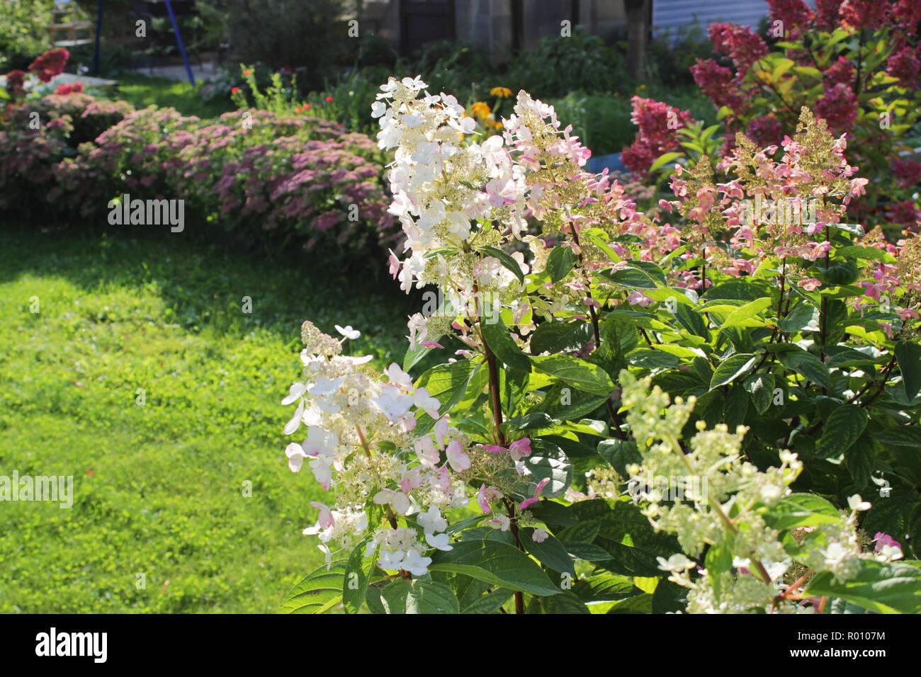 Hortensia paniculata cultivar en fleurs dans le jardin d\'automne ...