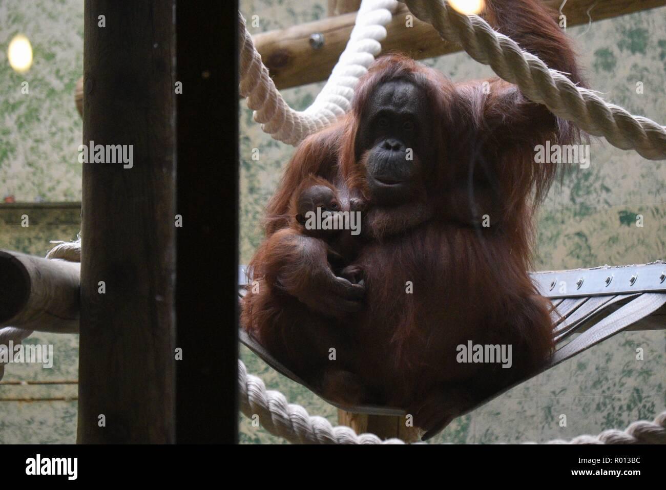 a430d19637d86 Octobre 26, 2018 - Paris, France : un orang-outan femelle avec son bébé au  zoo du Musée National d'Histoire ...
