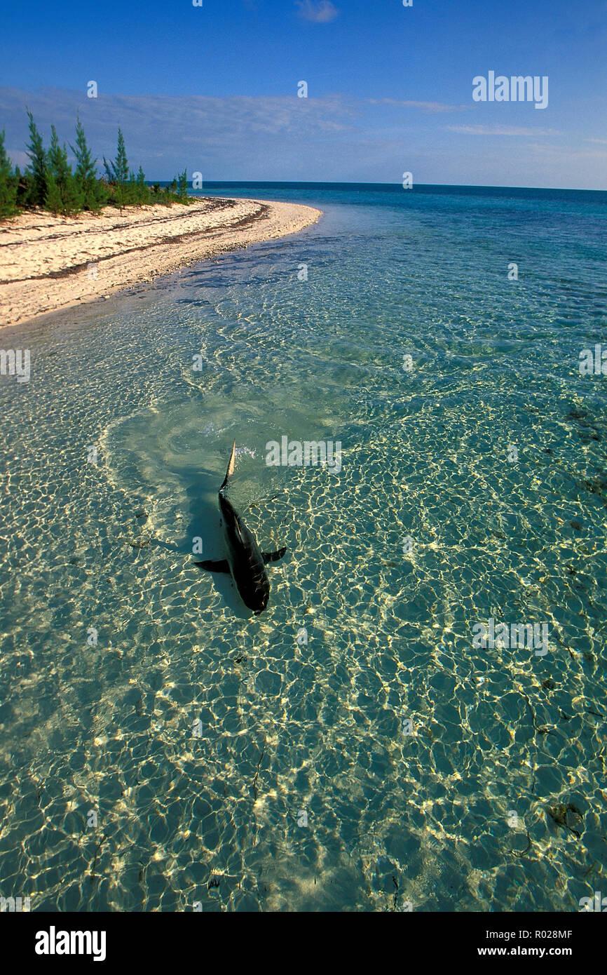 Blacktip shark, Carcharhinus limbatus, Bahamas, Océan Atlantique Banque D'Images