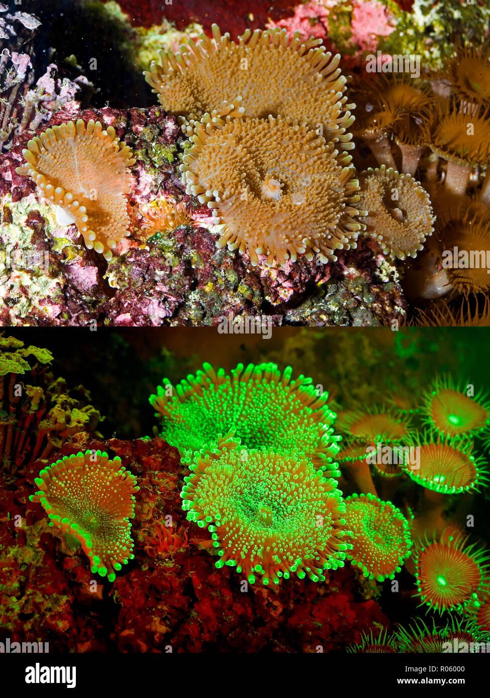 Les coraux fluorescents. Les champignons, Ricordea sp.. Photographié ci-dessus avec lumière du jour et ci-dessous montrant les couleurs fluorescentes photographiées dans des Photo Stock