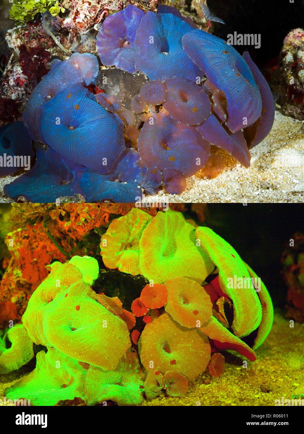Anémone fluorescent. Anémone de champignons, Actinodiscus sp.. Photographié ci-dessus avec lumière du jour et ci-dessous montrant les couleurs fluorescentes photographiées sous Photo Stock