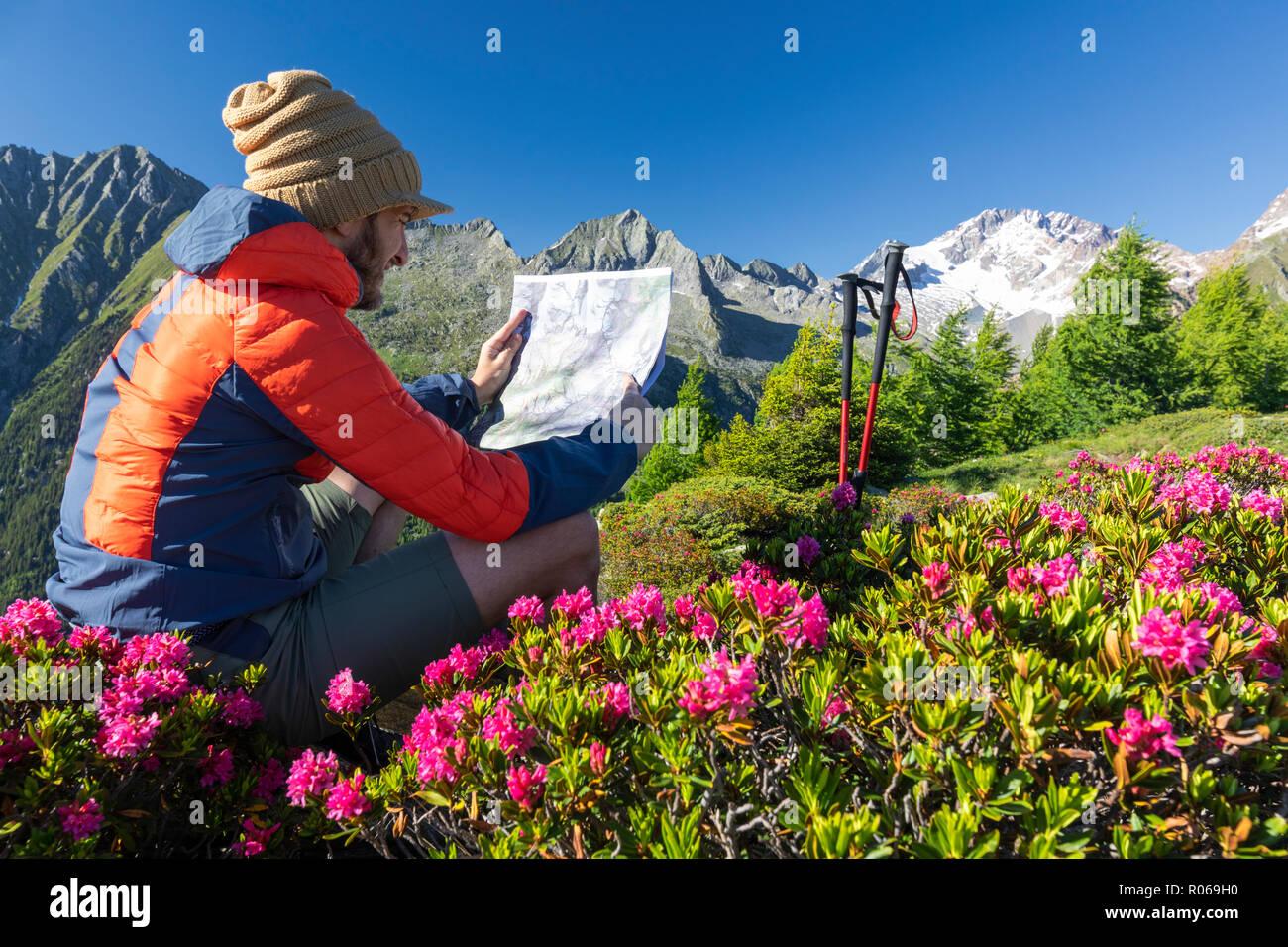 Randonneur entouré de rhododendrons se penche sur la carte, Scermendone Alp, Sondrio province, Valtellina, Alpes Rhétiques, Lombardie, Italie, Europe Banque D'Images