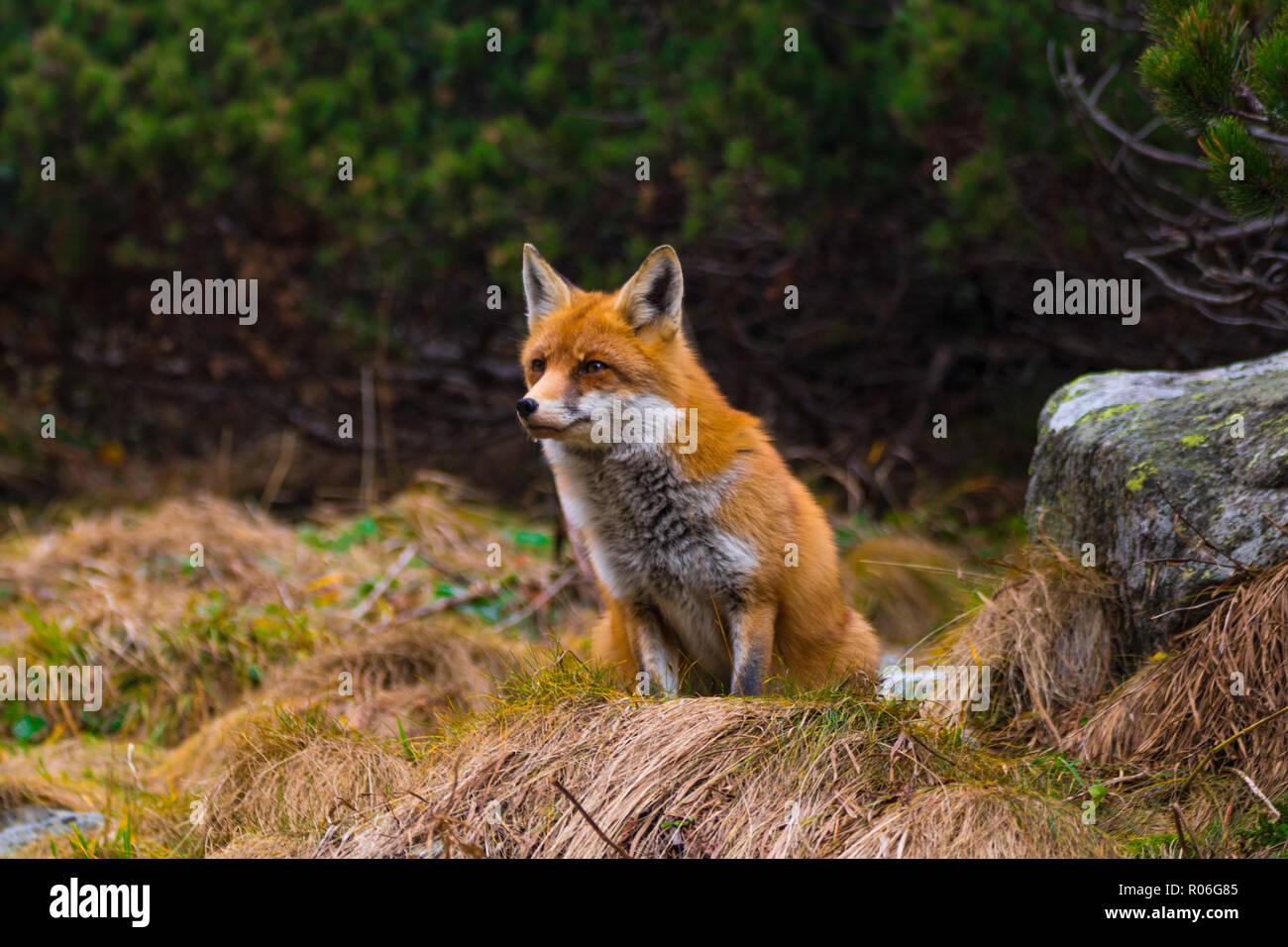 De Capture Fox regardant quelque chose à manger. La Slovaquie Photo Stock