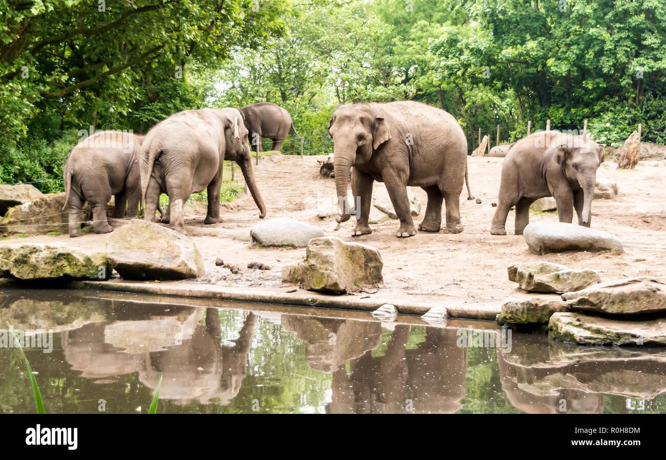 Les éléphants d'Asie (Elephas maximus) avec des subadultes près de l'étang. Les femelles adultes et les veaux se déplacer ensemble comme des groupes Banque D'Images