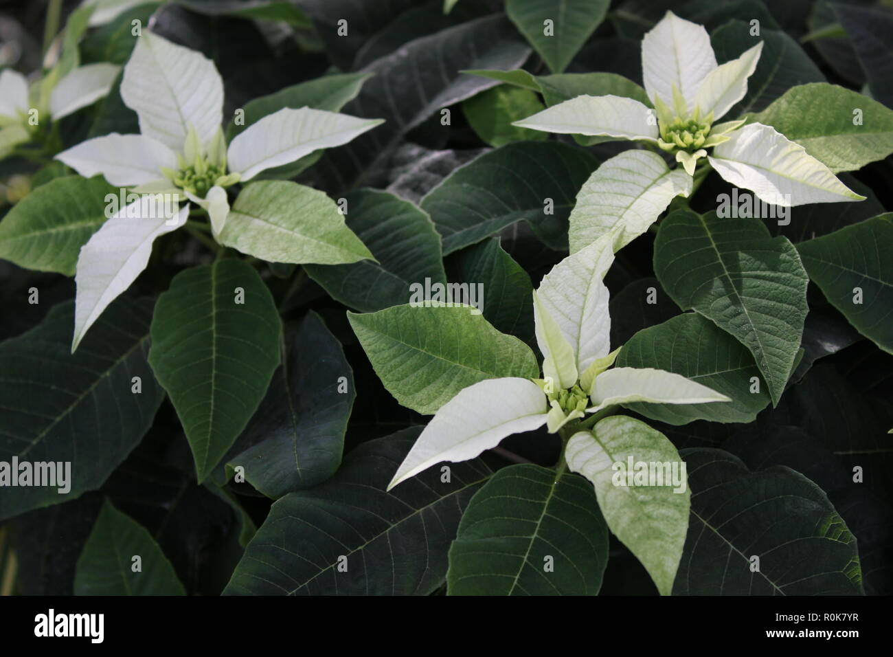 Etoile De Noel Plante Exterieur euphorbia pulcherrima photos & euphorbia pulcherrima images