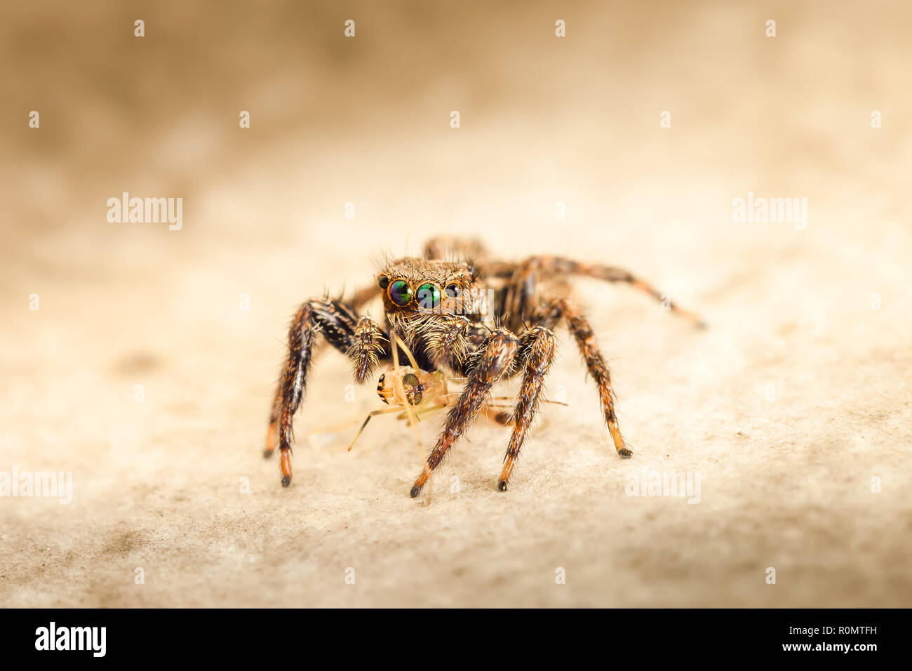 De la famille des Gradungulidae, Jumping spiders close-up macro photo / Asie, Thaïlande Photo Stock