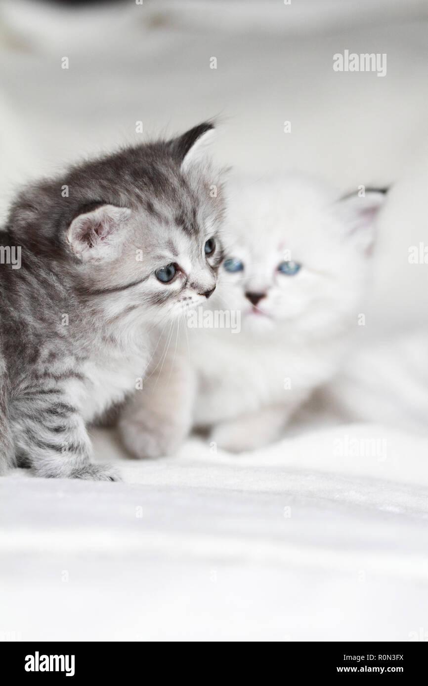 Les chats Chiot beauté en hiver, la race sibérienne Photo Stock