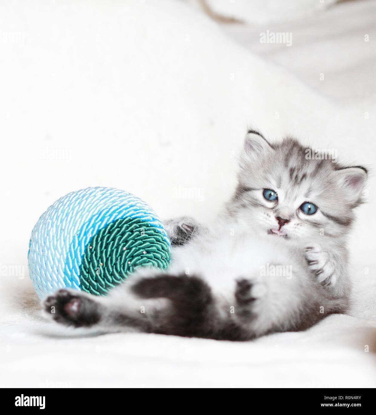 Chiot adorable chat dans le temps de Noël avec décoration Photo Stock