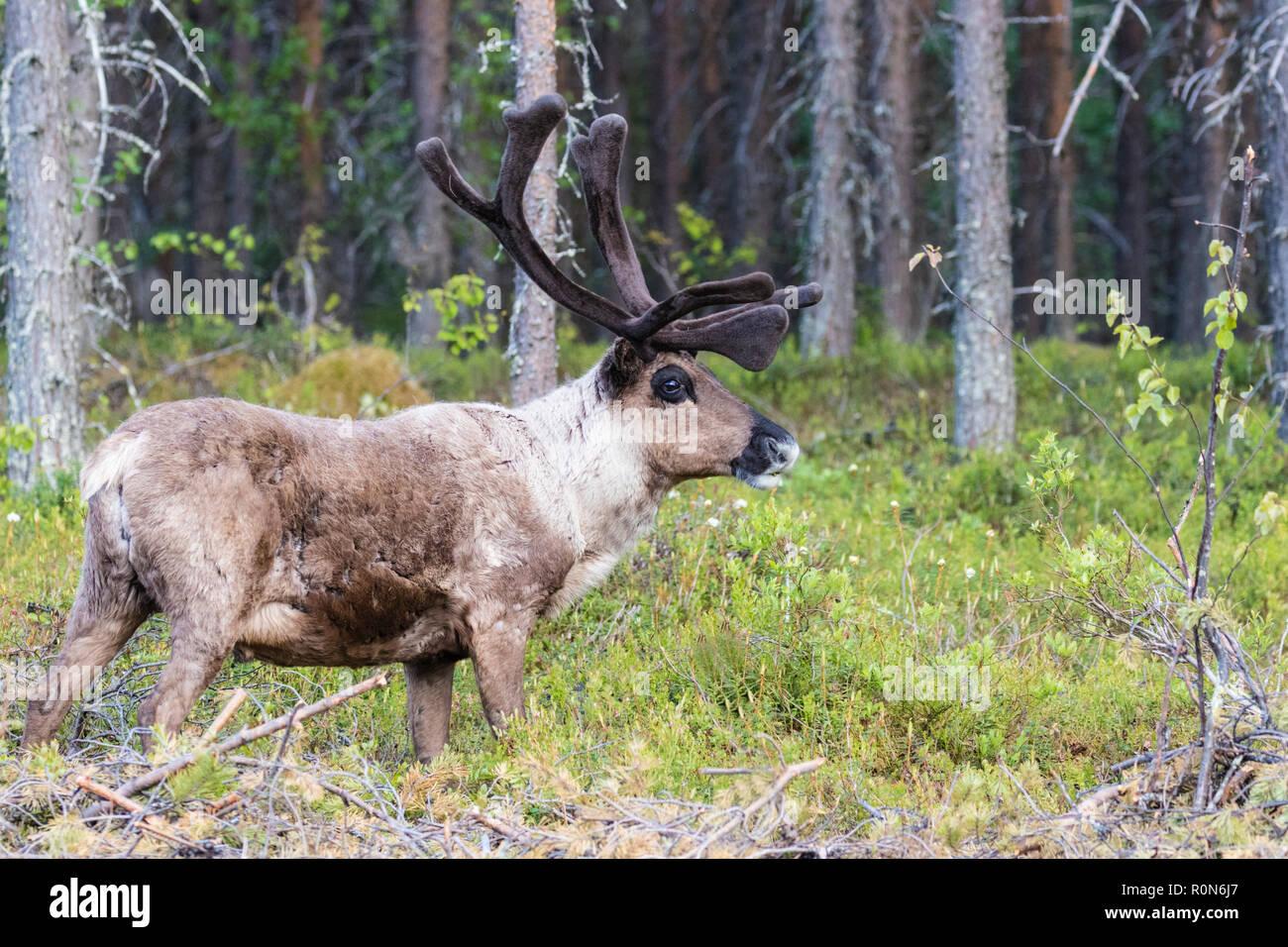 Renne, Rangifer tarandus balade en forêt, la présence de grandes ramures, Gällivare County, en Laponie suédoise, Suède Banque D'Images