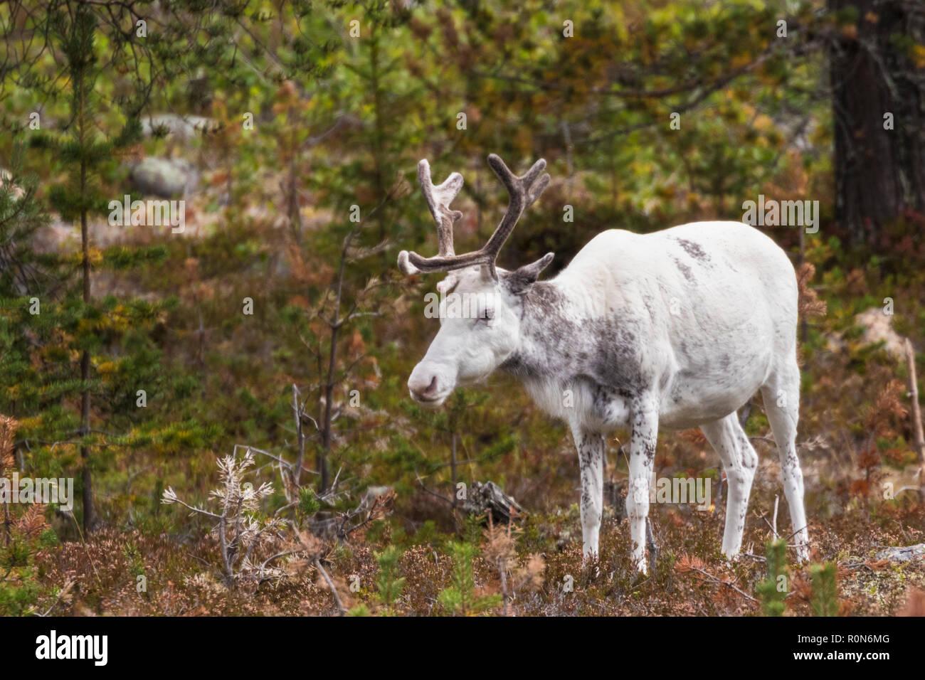 Renne Blanc, Rangifer tarandus balade en forêt, la présence de grandes ramures, Gällivare County, en Laponie suédoise, Suède Banque D'Images