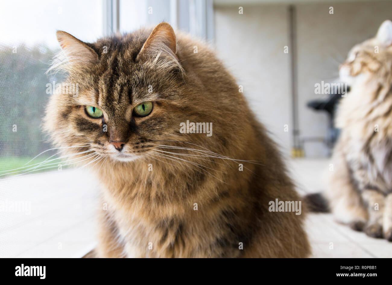 Chat drôle à la fenêtre, curieux animal Photo Stock