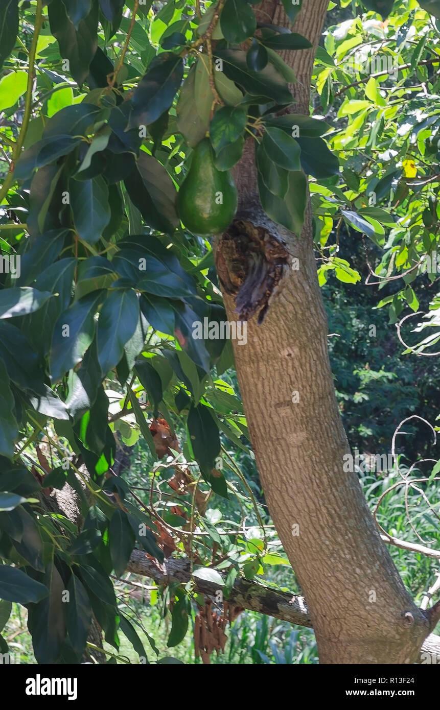 l'avocat de fruits sur l'arbre, la république dominicaine, santiago