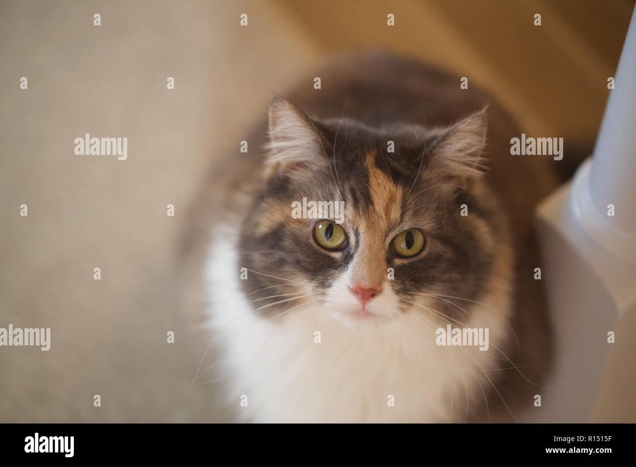 Dusky, des yeux de chat à la recherche dans l'objectif de l'appareil photo Banque D'Images