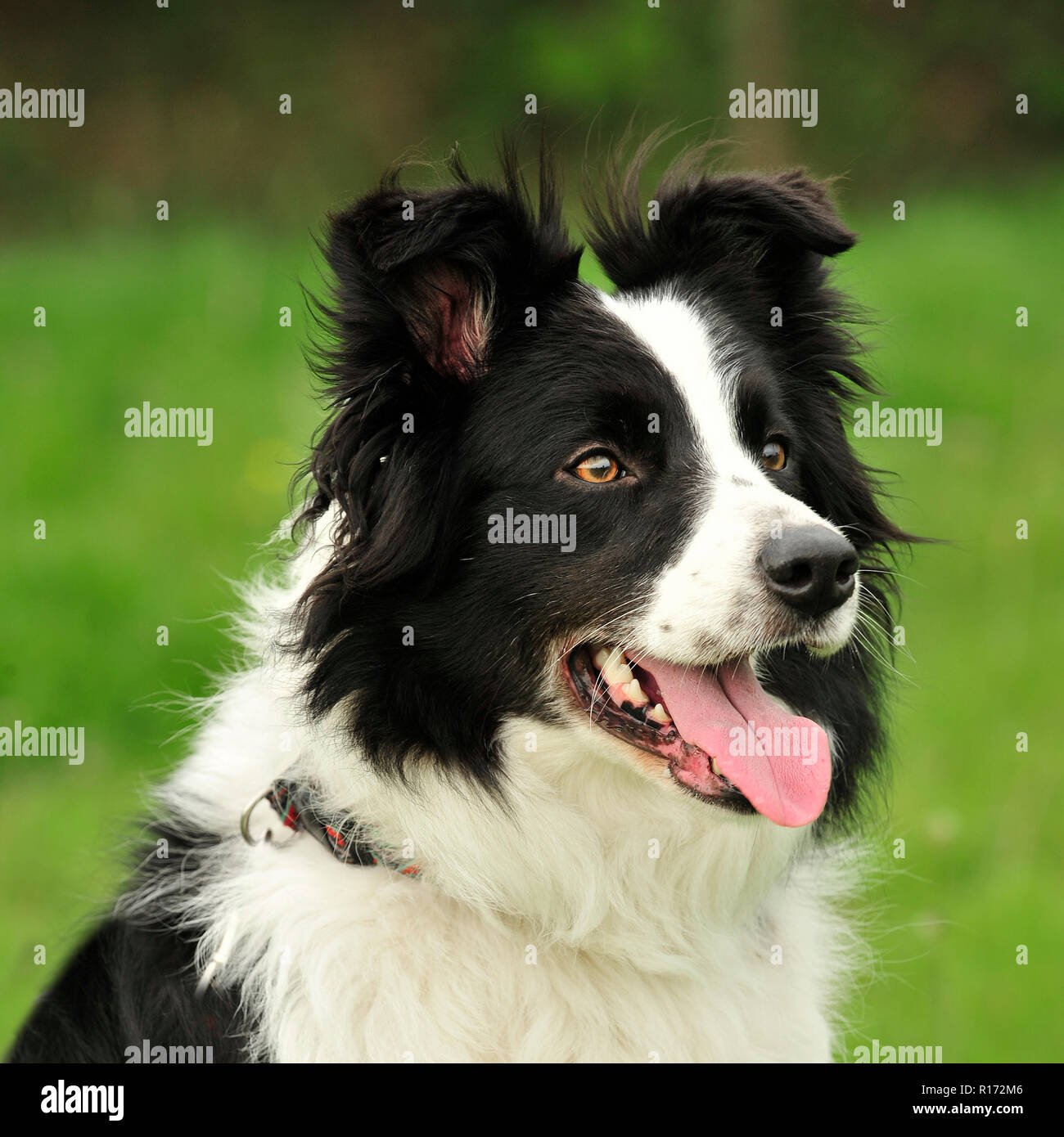 border collie Photo Stock