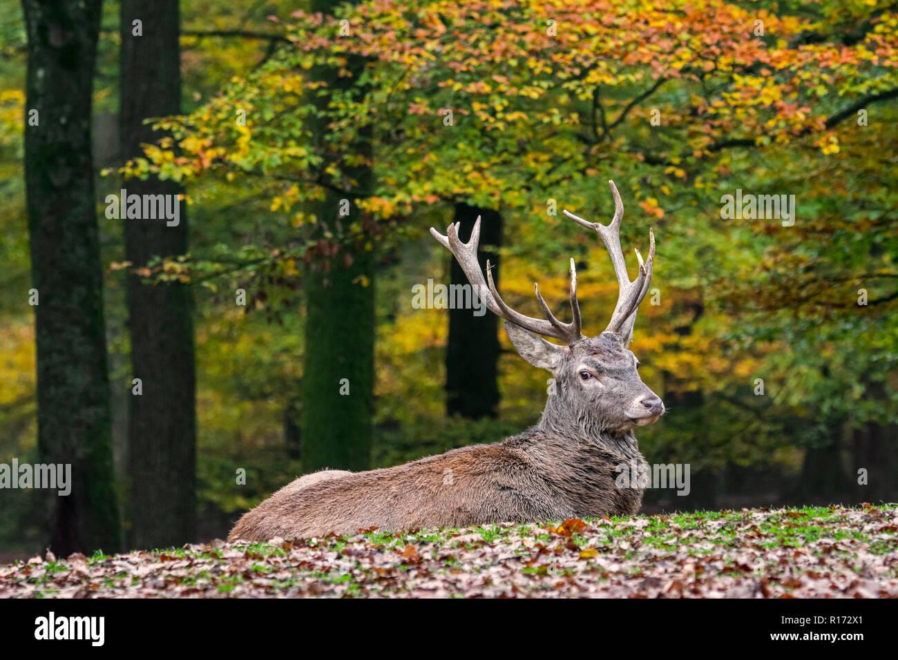 Red Deer (Cervus elaphus) stag / homme reposant dans forêt d'automne dans les Ardennes durant la saison de chasse Banque D'Images