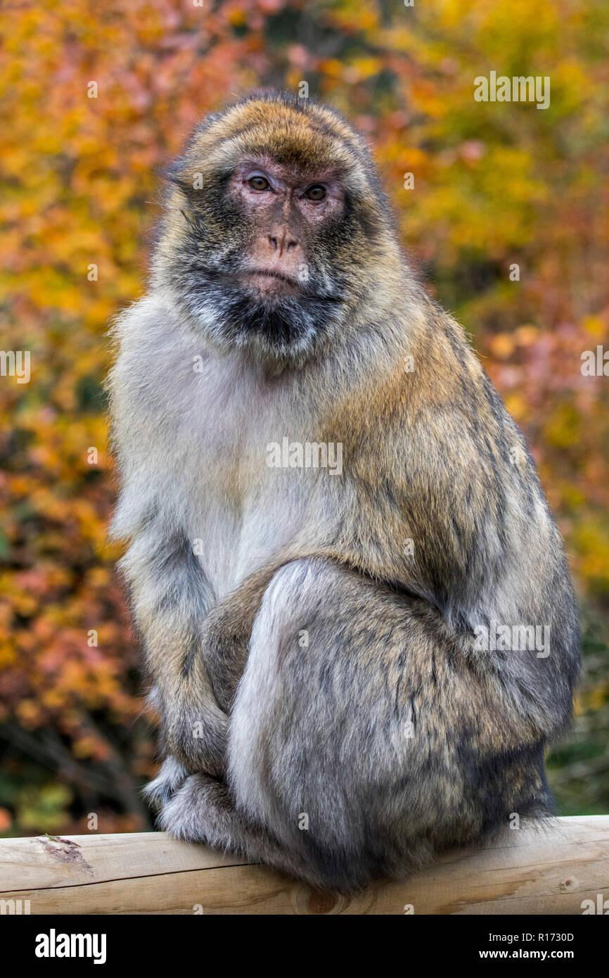 Macaque de Barbarie / Barbary ape / magot (Macaca sylvanus) originaire de l'Atlas de l'Algérie, le Maroc et Gibraltar Photo Stock
