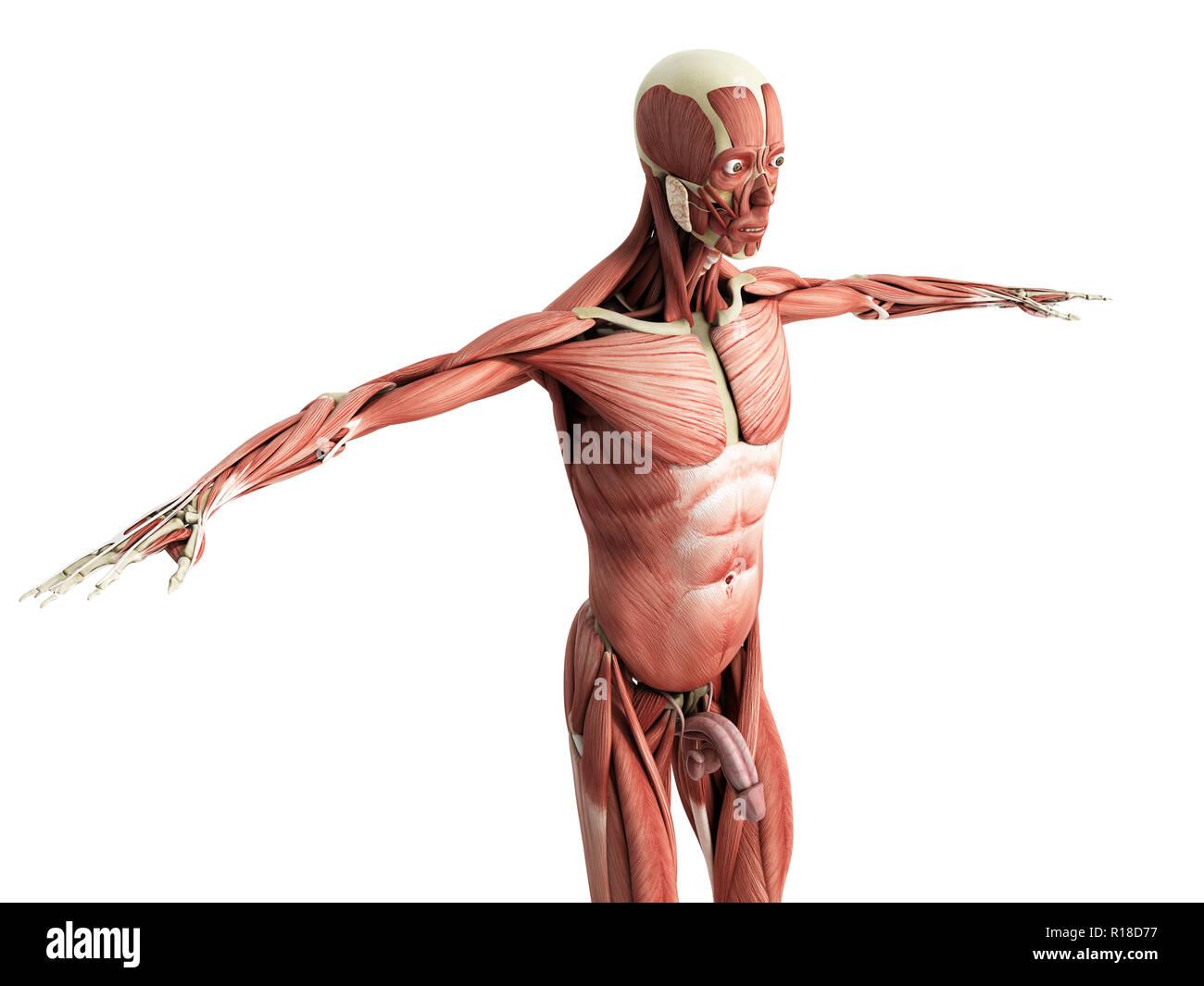 Anatomie du muscle humain 3D render sur blanc Photo Stock