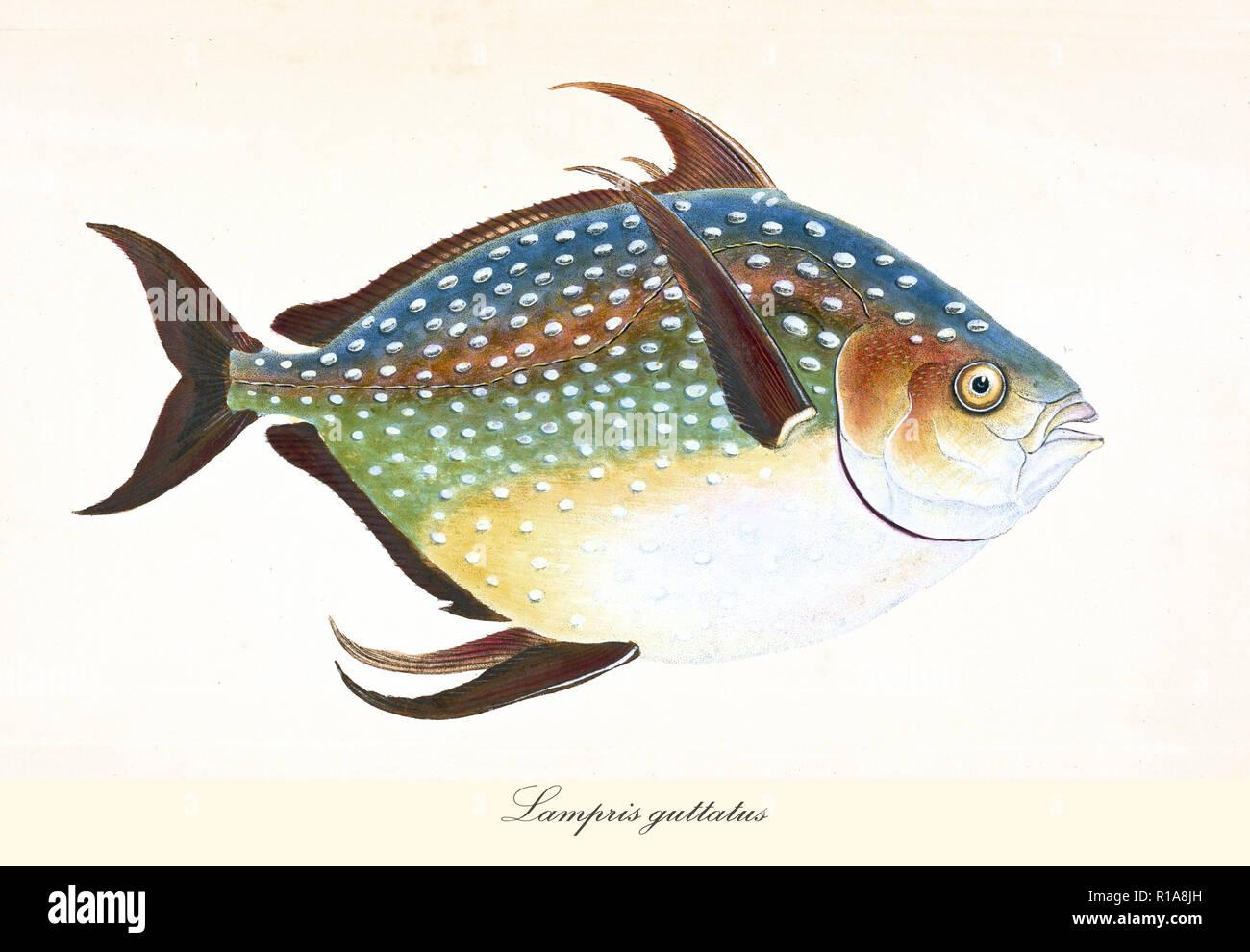 Image de couleurs antiques des dieux (Lampris guttatus), vue de côté de l'arrondi de couleur plusieurs poissons avec sa peau parsemée de points blancs, éléments isolés. Par Edward Donovan. Londres 1802 Banque D'Images