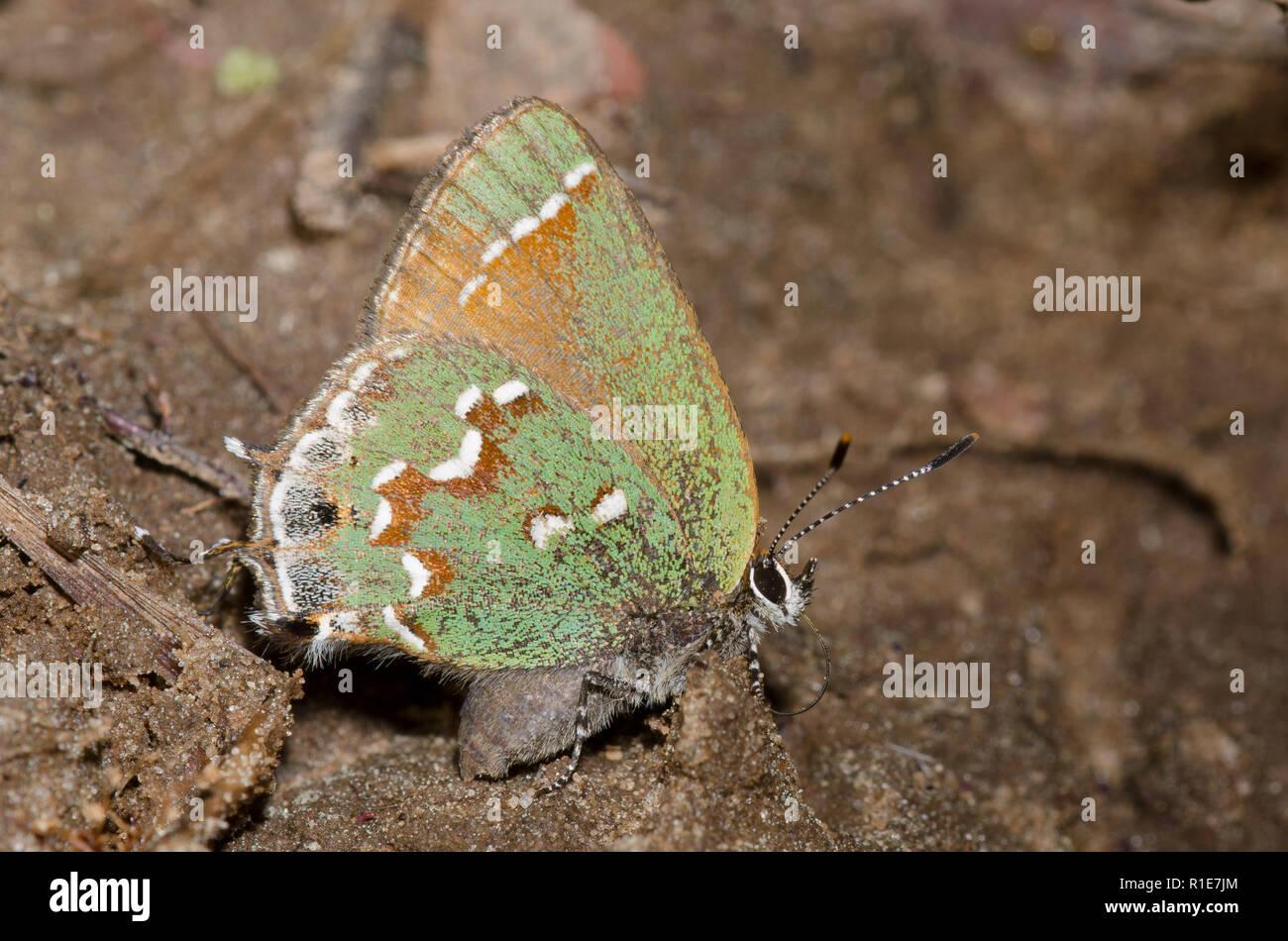 Hairstreak Callophrys gryneus, Juniper Banque D'Images