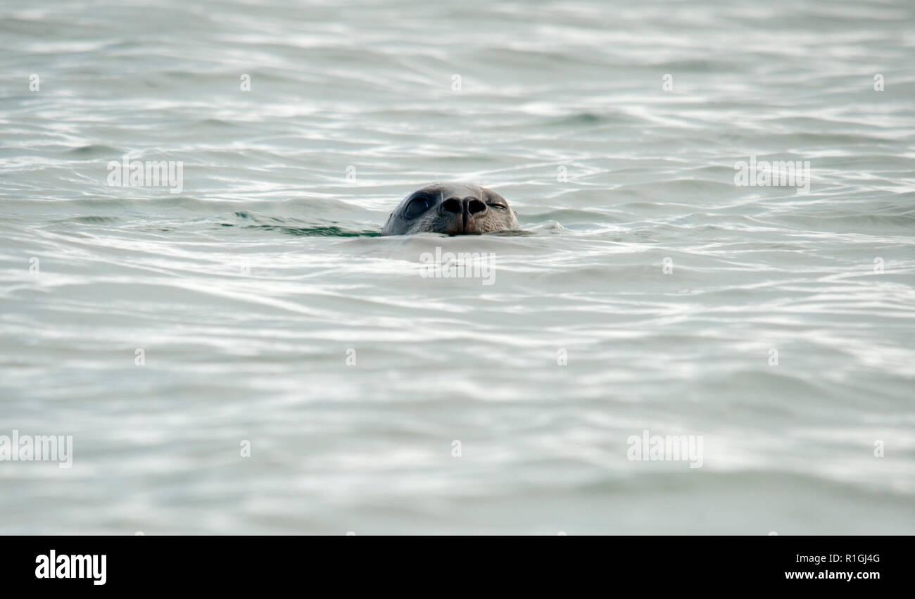 Le port (ou port) seal (Phoca vitulina), aussi connu sous le sceau, est un vrai sceau trouvés le long des côtes maritimes de l'Arctique et tempérées de la Photo Stock