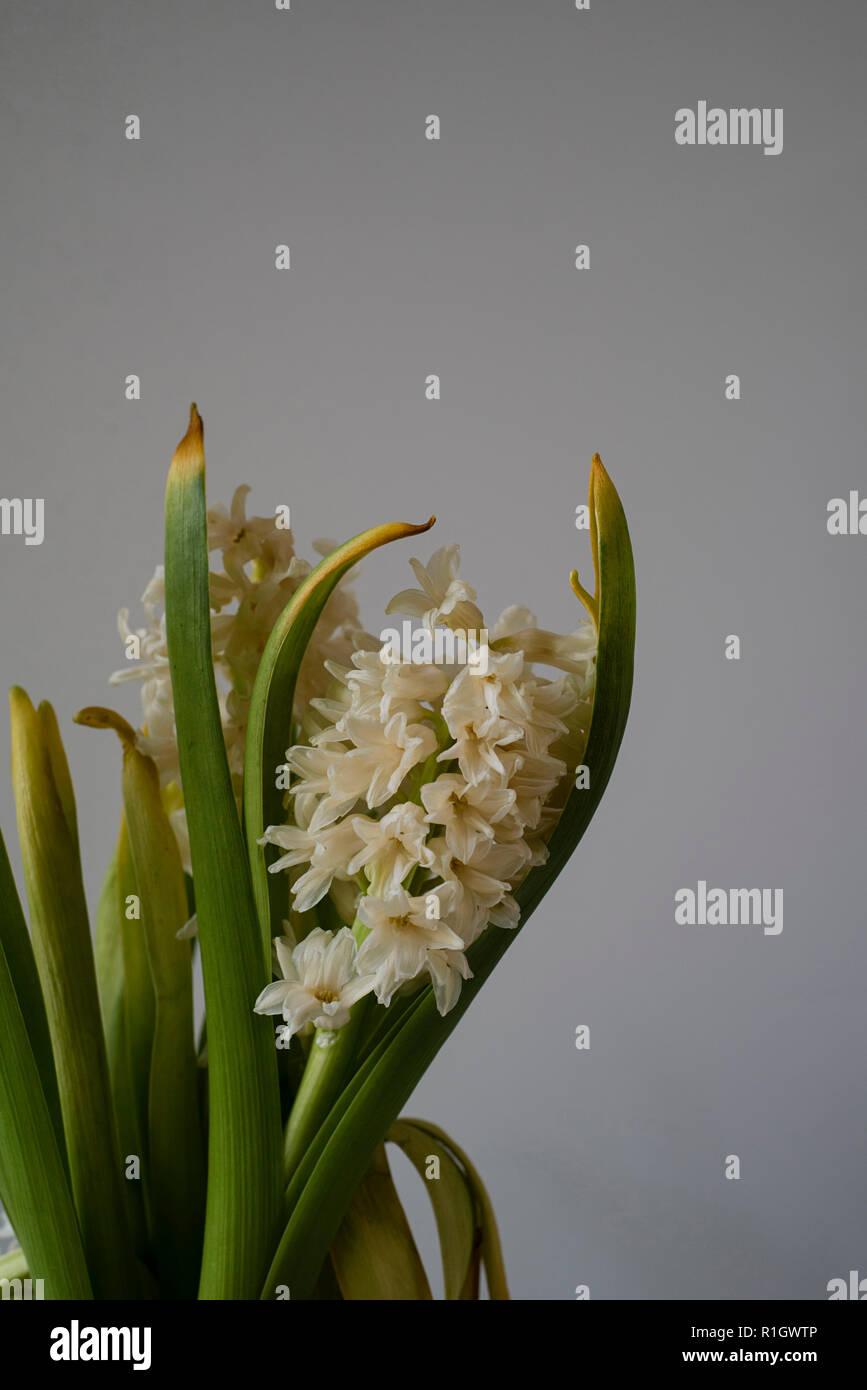 Flétrissement morne Gros plan floral avec Browning feuilles sur un fond clair Photo Stock