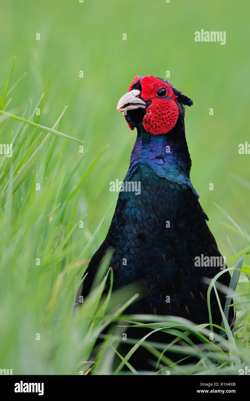 Close up head shot d'un mutant melanistic faisan dans l'herbe longue Banque D'Images