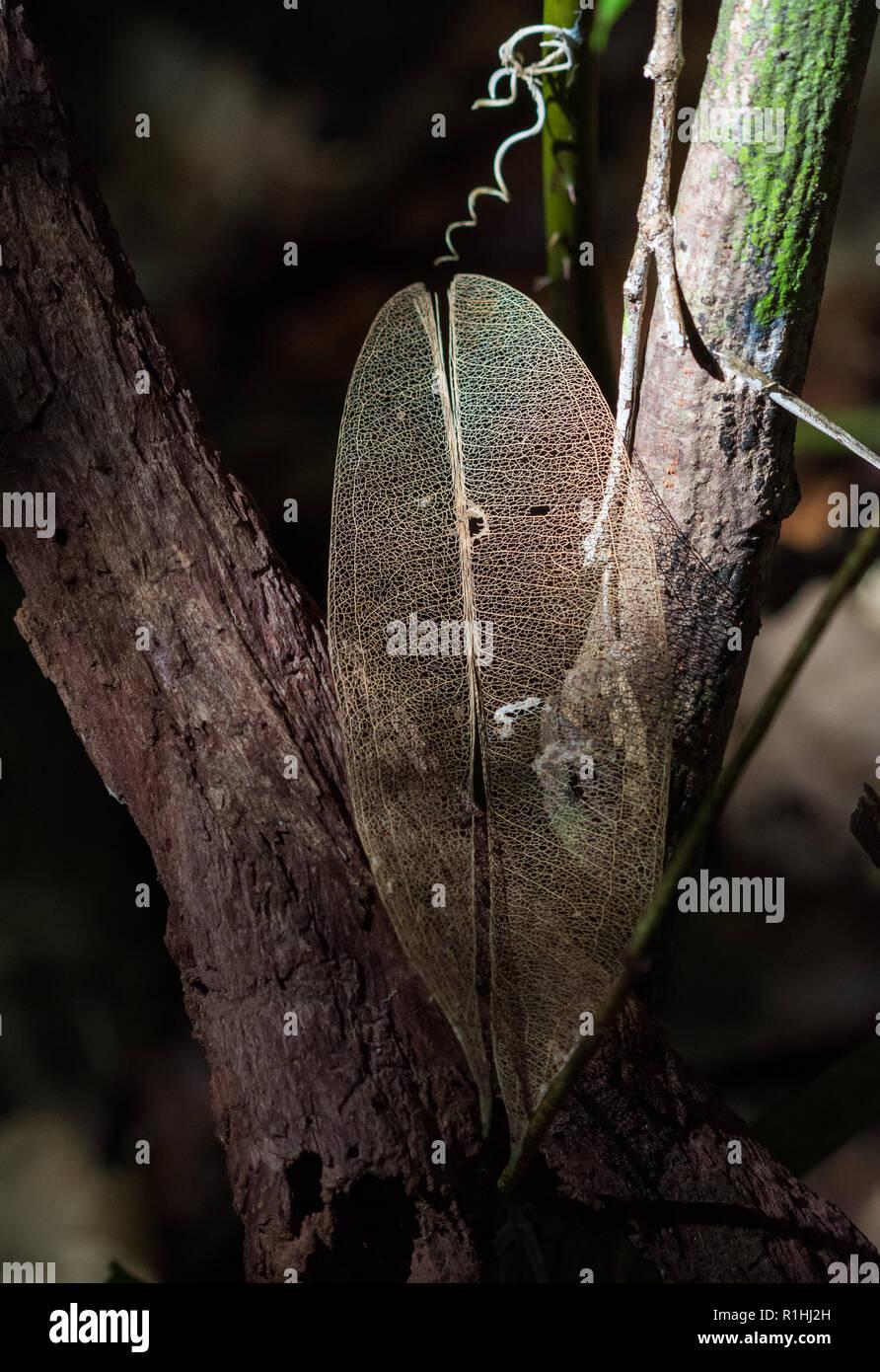 Une feuille en décomposition avec que les veines préservés. L'île de Waigeo, Raja Ampat, Indonésie Photo Stock