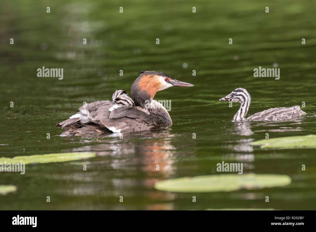 Grèbe huppé (Podiceps cristatus). Piscine pour adultes avec chick à l'arrière, une autre réunion chick sur un étang. L'Allemagne. Photo Stock