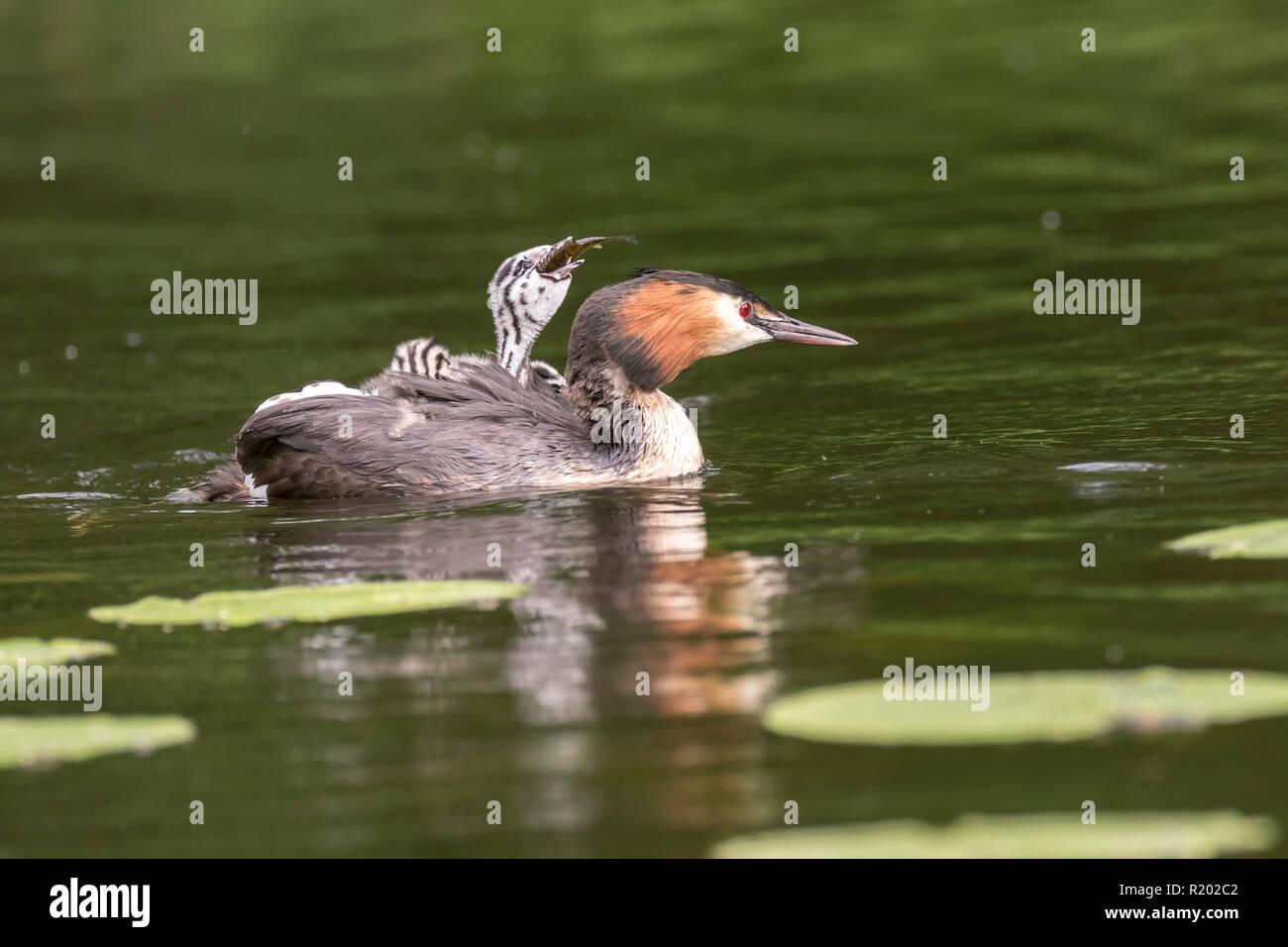Grèbe huppé (Podiceps cristatus). Piscine pour adultes avec chick à l'arrière, qui est d'essayer de manger du poisson. L'Allemagne. Photo Stock