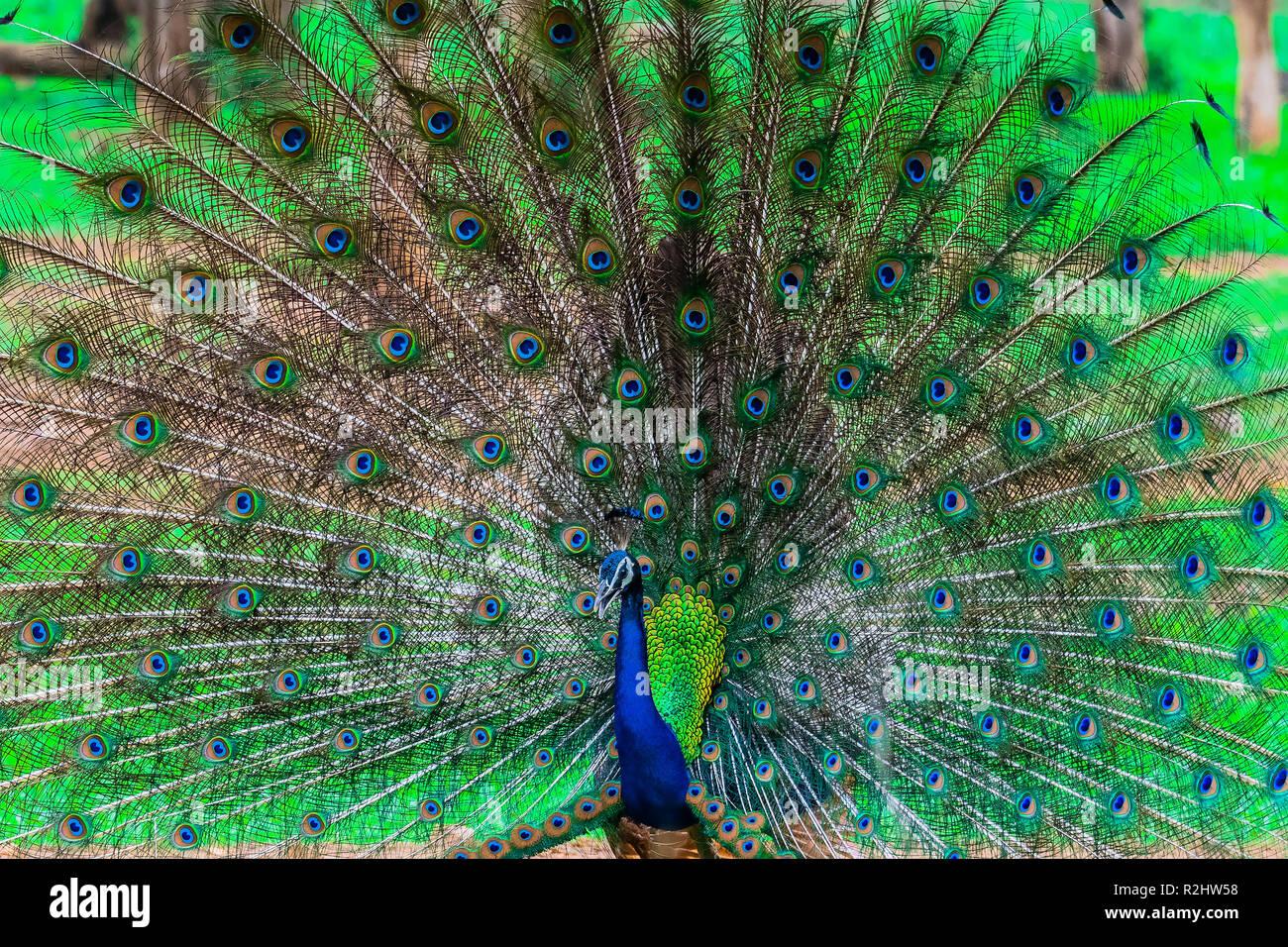 Peacock indien, oiseau national de l'Inde Banque D'Images