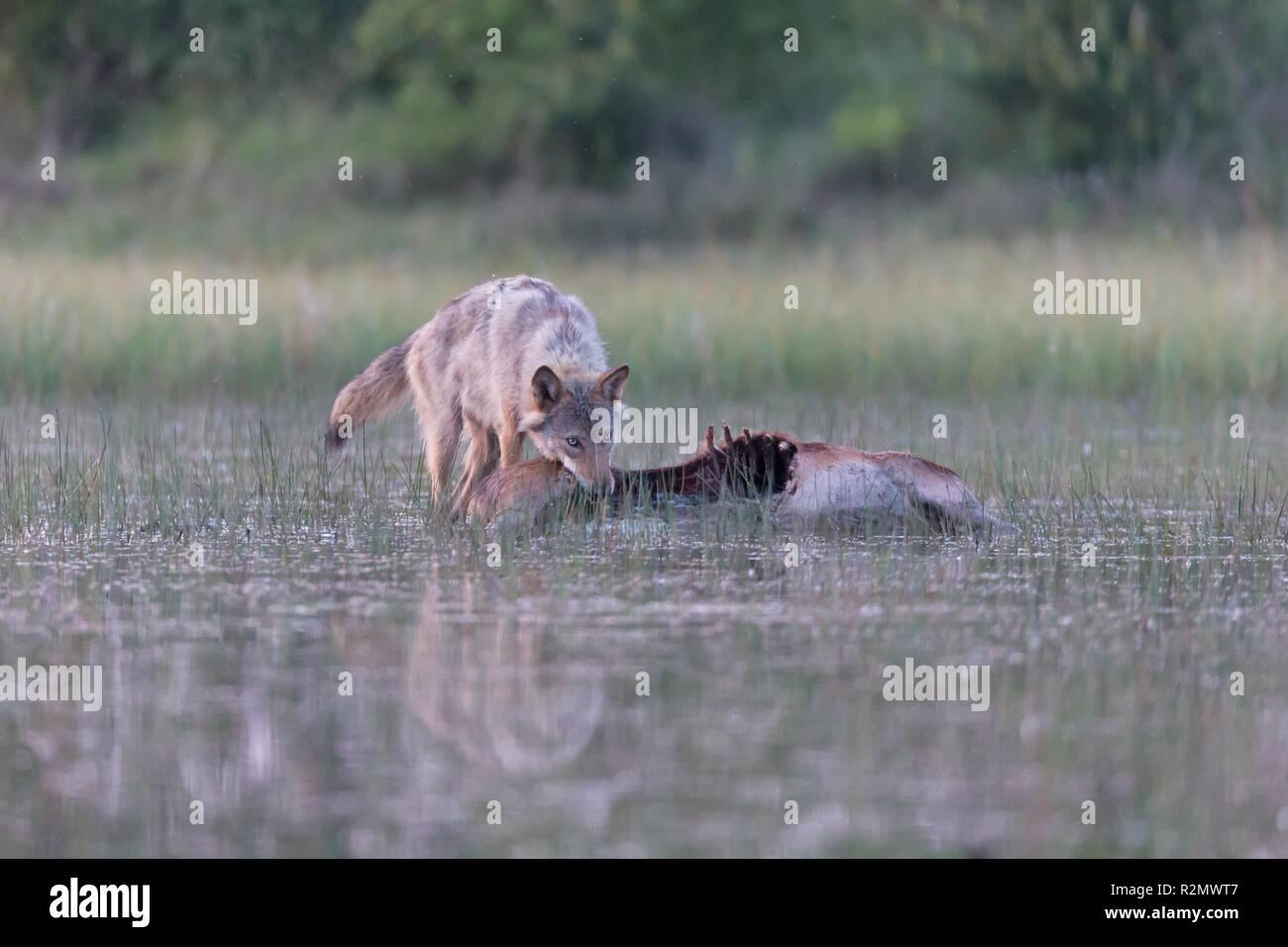 Le loup à l'état sauvage, en proie, manger Photo Stock