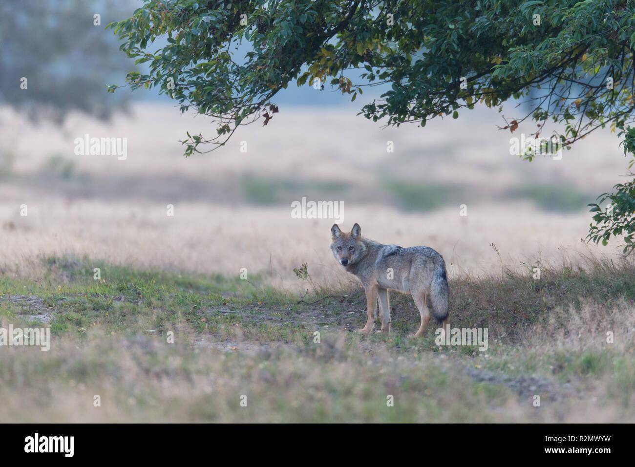 Loup est sous un arbre Photo Stock