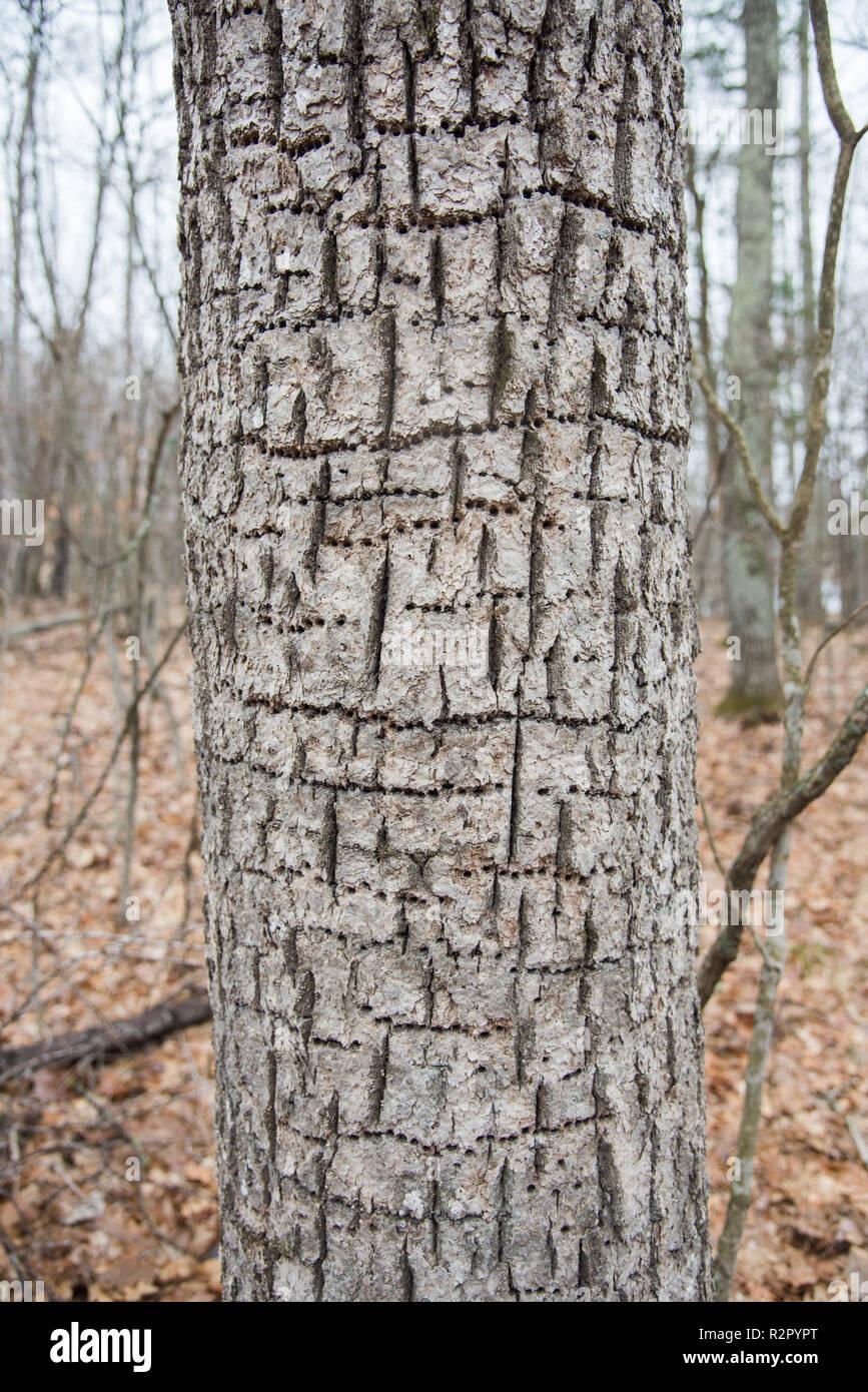 Tronc de l'arbre avec les trous de pic en répétition dans une forêt dans le Minnesota aux États-Unis. Banque D'Images