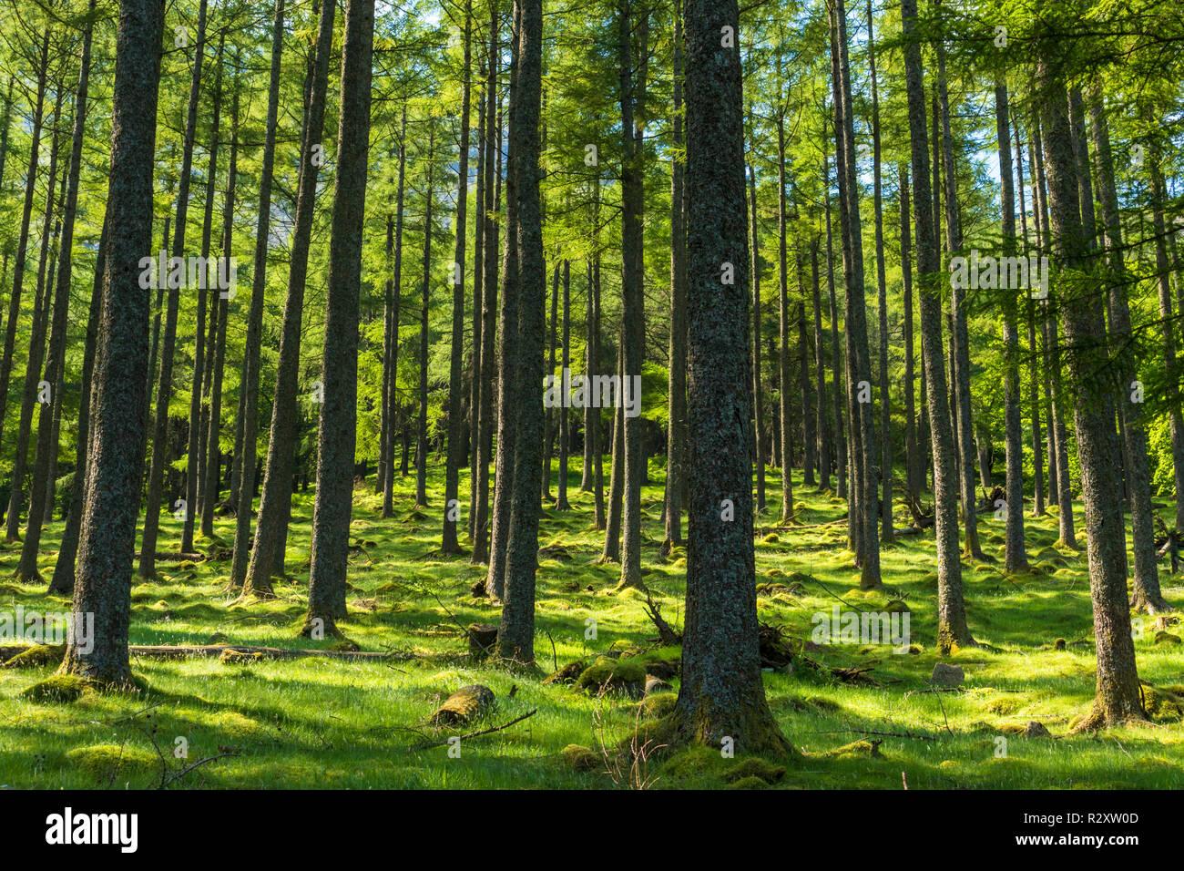 Lake District UK Buttermere lumière du soleil à travers les arbres de pin Bois Burtness Buttermere Lake District National Park Cumbria England UK GO Europe Photo Stock