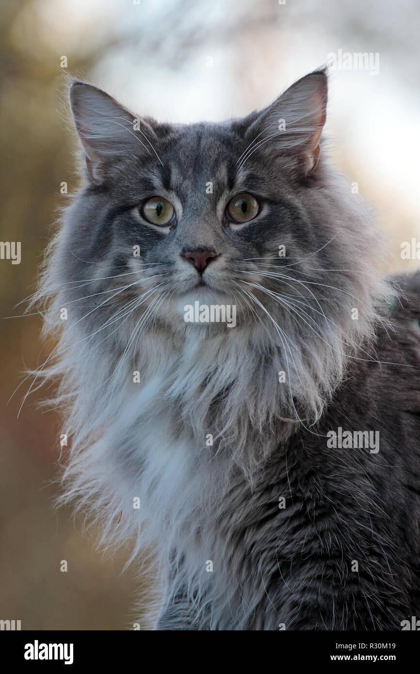 Chat Furieux gros chat norvégien furieux et fixant banque d'images, photo stock