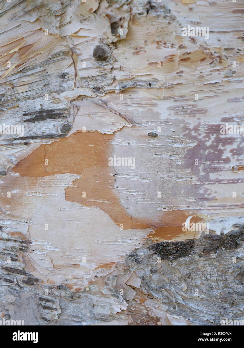 L'écorce de bouleaux (Betula) séduisant et plein de surprises, montrant la beauté naturelle intérieure et extérieure de motifs, textures et couleurs. UK Banque D'Images