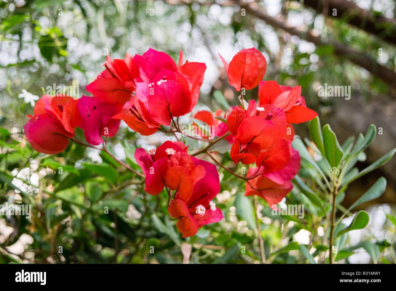 bougainvillier fleur rose espagnol, espagne banque d'images, photo