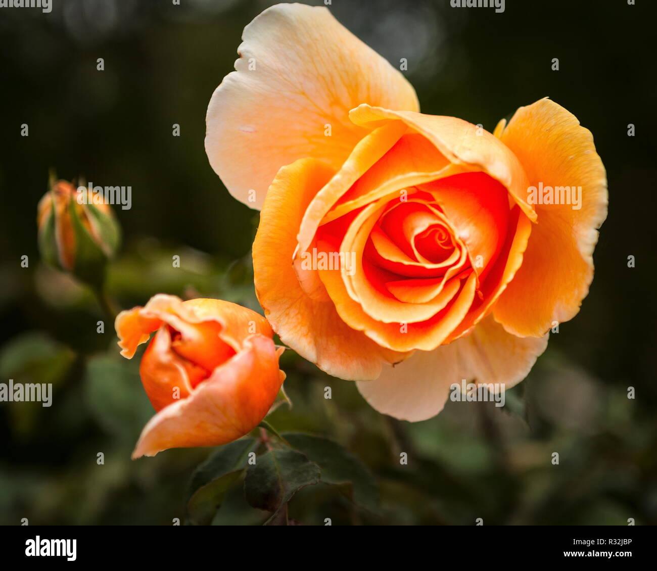 Naissance d'une Rose Standard nommé Joey juste Photo Stock