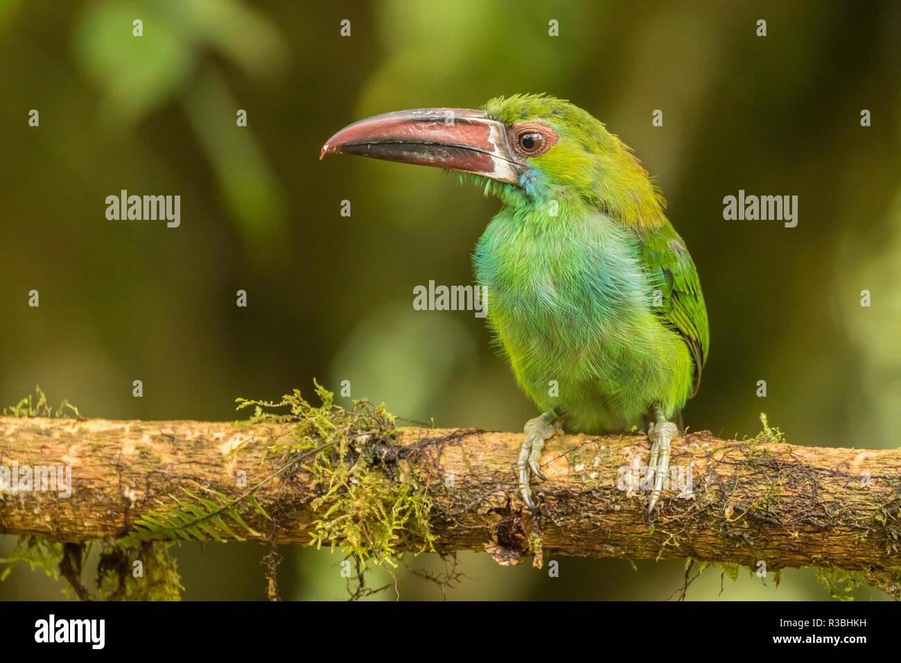 L'Équateur, d'oiseaux Tandayapa Lodge. Toucanet à croupion rouge sur les jambes. Photo Stock