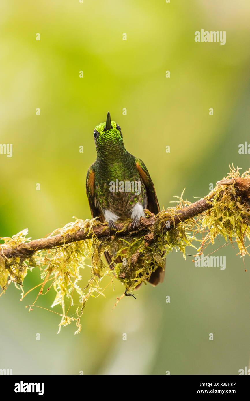 L'Équateur, d'oiseaux Tandayapa Lodge. Buff-tailed coronet sur membre. Photo Stock