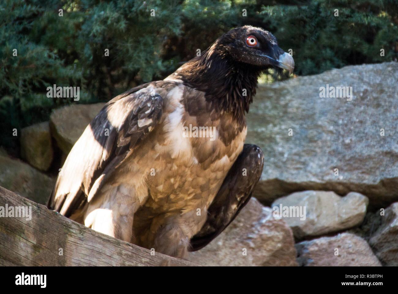 Gypaète gypaète ou (LIC)).C'est un oiseaux immatures blessés mis en captivité pour sauver sa vie. Photo Stock