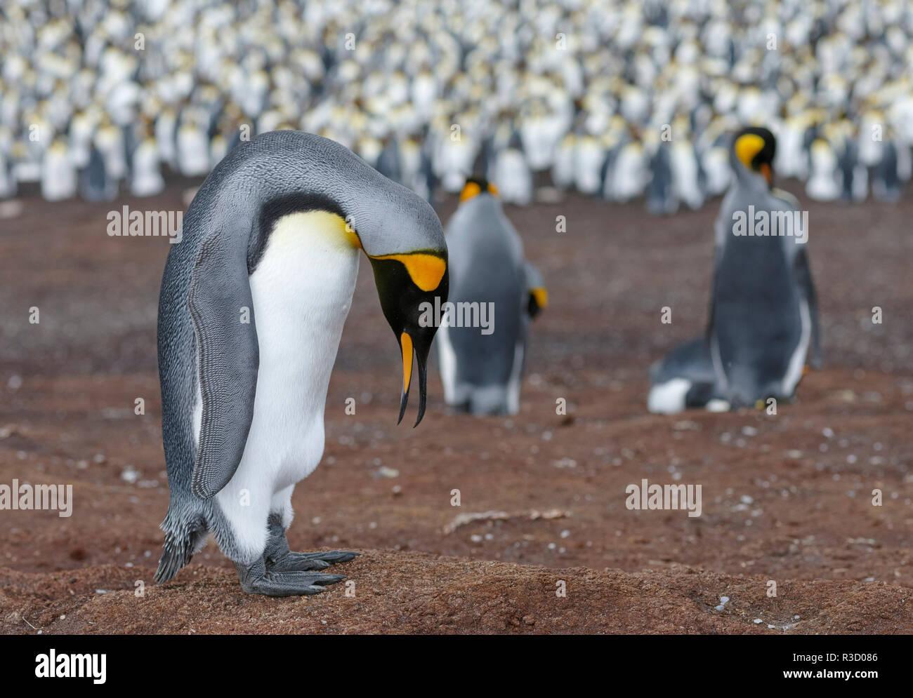 Manchot royal (Aptenodytes patagonicus) sur les îles Malouines dans l'Atlantique Sud. Parade nuptiale. Photo Stock