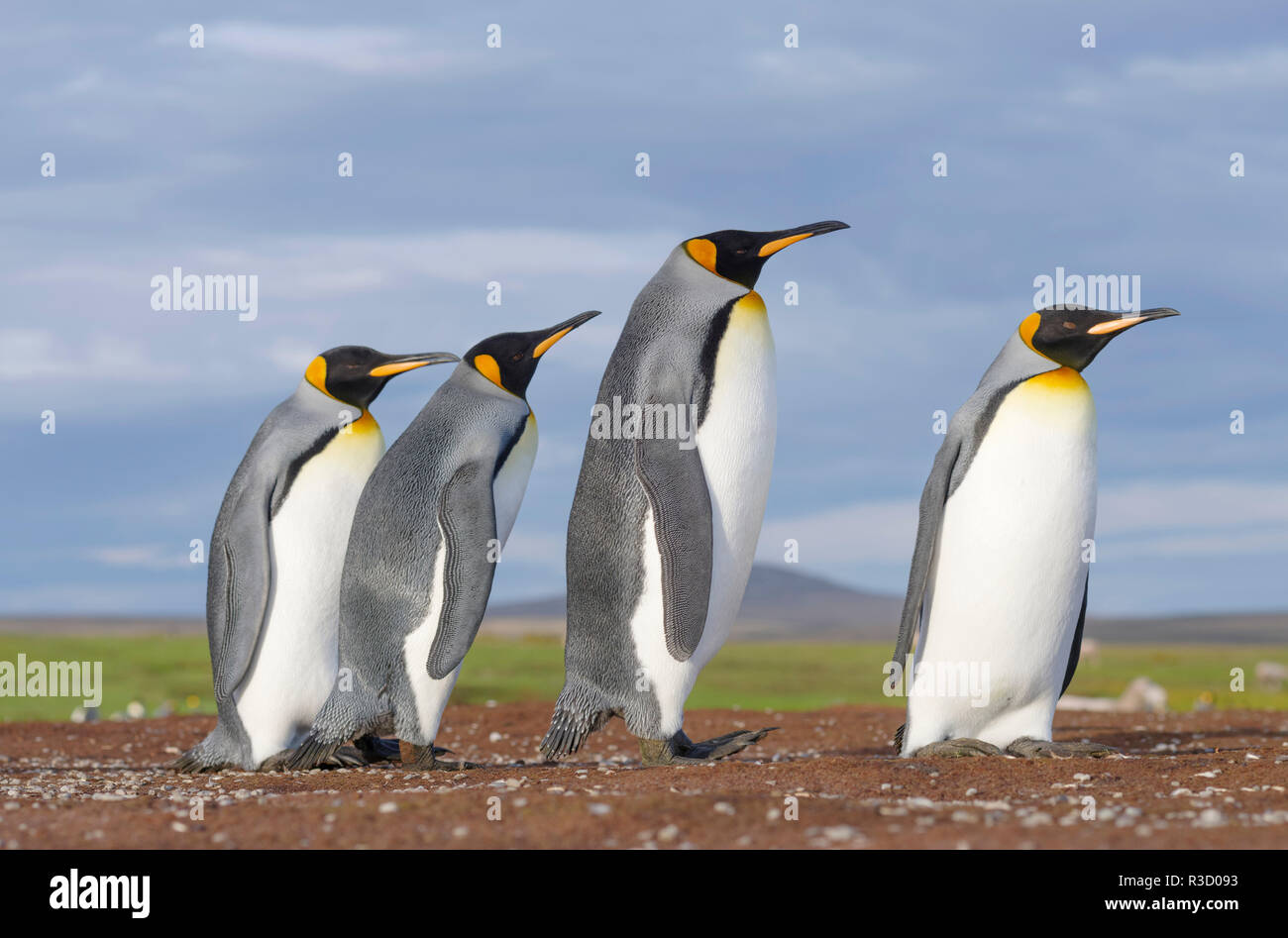 Manchot royal (Aptenodytes patagonicus) sur les îles Malouines dans l'Atlantique Sud. Banque D'Images
