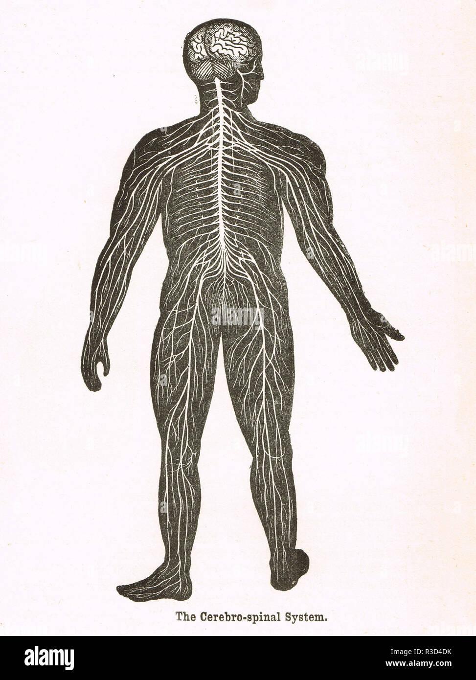 Système cérébro-spinale, corps humain. Un schéma du 19e siècle Photo Stock