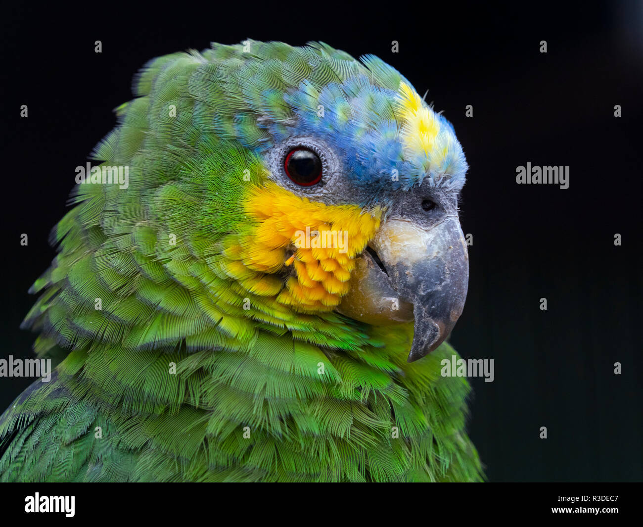 Orange-Winged Amazona amazonica Amazone CAPTIVE Parrot Banque D'Images
