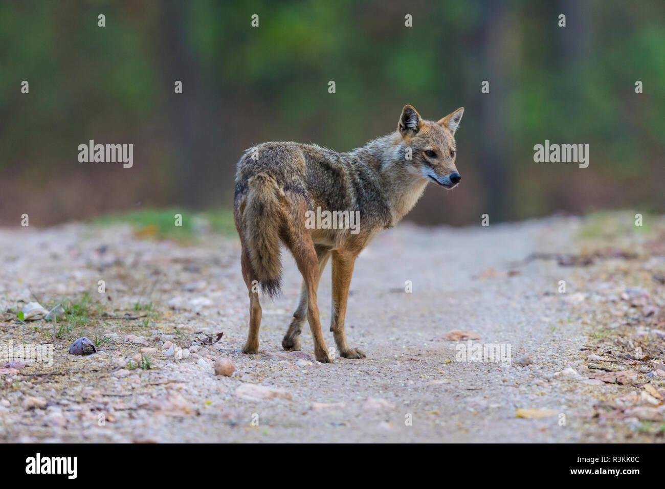 L'Inde. Indian Jackal (Canis aureus indicus) à la réserve de tigres de Kanha. Banque D'Images