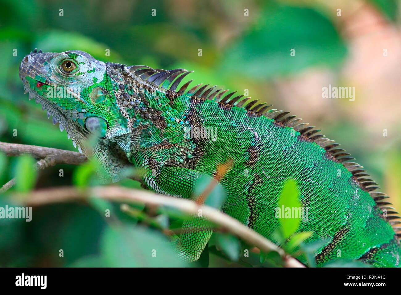 Iguane vert commun (Iguana iguana), Costa Rica Banque D'Images