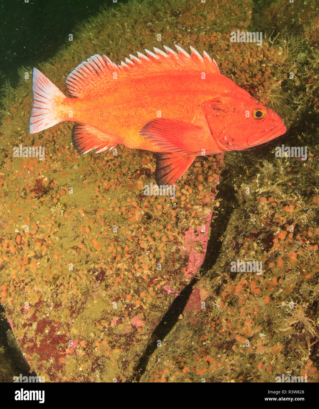 x-large Grub Morue-lingue Lure//Rockfish Leurre