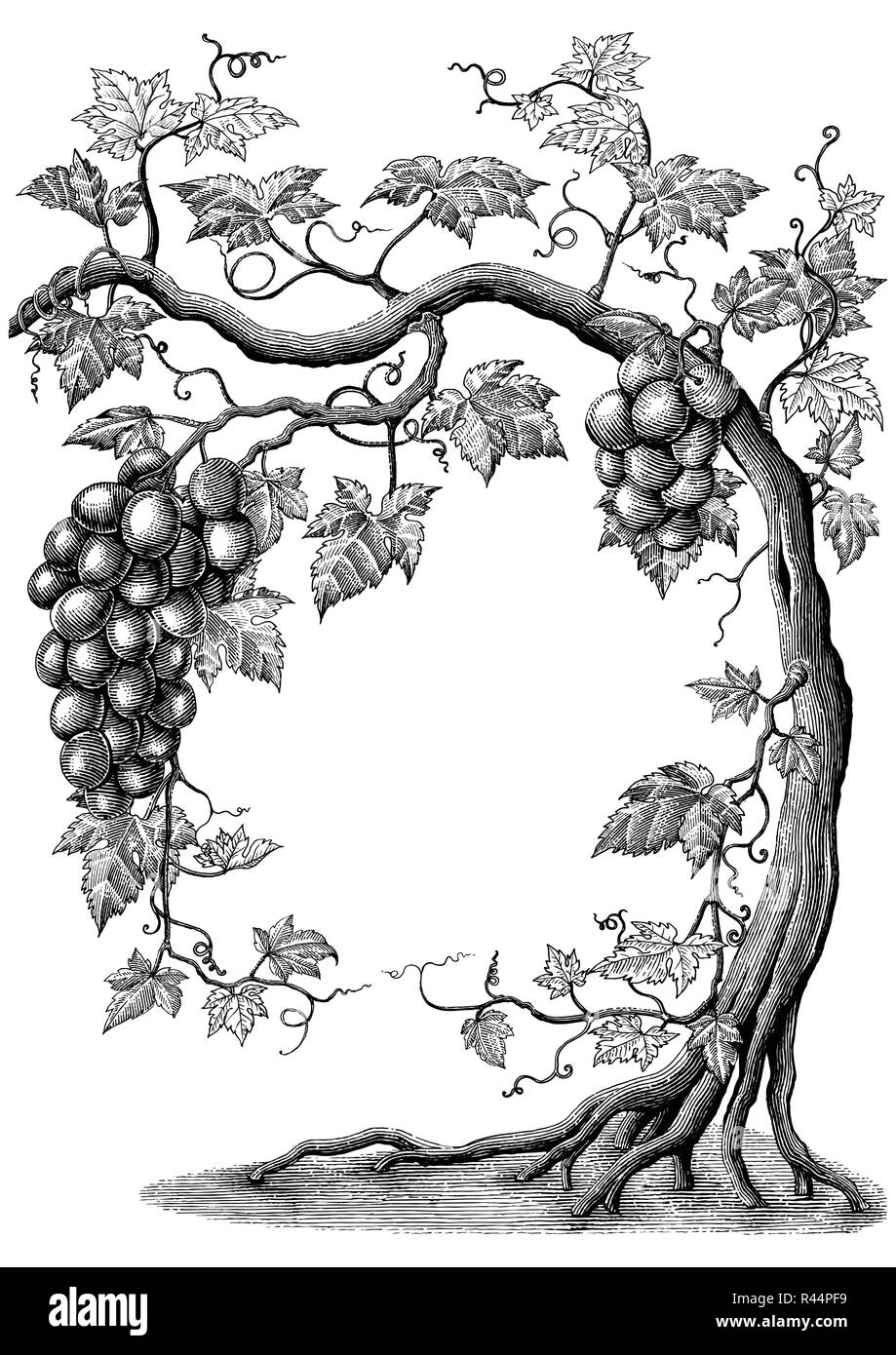 Arbre Genealogique De Raisin Dessin A La Main Vintage Gravure