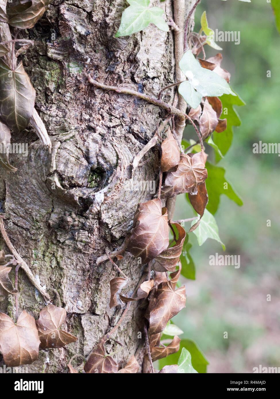 Un tas de feuilles mortes Vu du côté de l'écorce d'un tronc d'arbre dans la forêt Banque D'Images